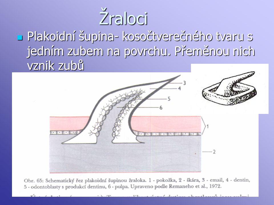 Žraloci Plakoidní šupina- kosočtverečného tvaru s jedním zubem na povrchu.