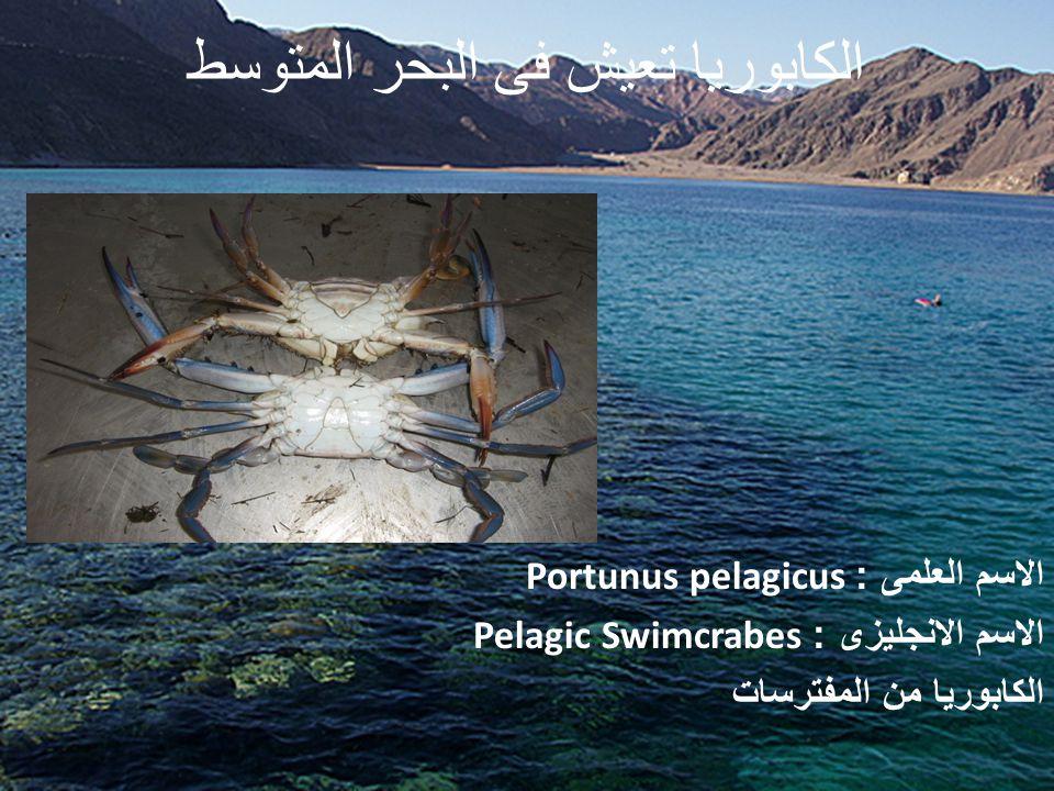الكابوريا تعيش فى البحر المتوسط الاسم العلمى : Portunus pelagicus الاسم الانجليزى : Pelagic Swimcrabes الكابوريا من المفترسات