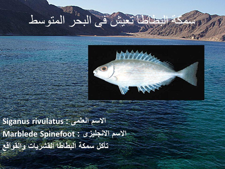 سمكة البطاطا تعيش فى البحر المتوسط الاسم العلمى : Siganus rivulatus الاسم الانجليزى : Marblede Spinefoot تأكل سمكة البطاطا القشريات والقواقع