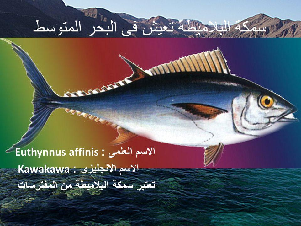 سمكة البلاميطة تعيش فى البحر المتوسط الاسم العلمى : Euthynnus affinis الاسم الانجليزى : Kawakawa تعتبر سمكة البلاميطة من المفترسات