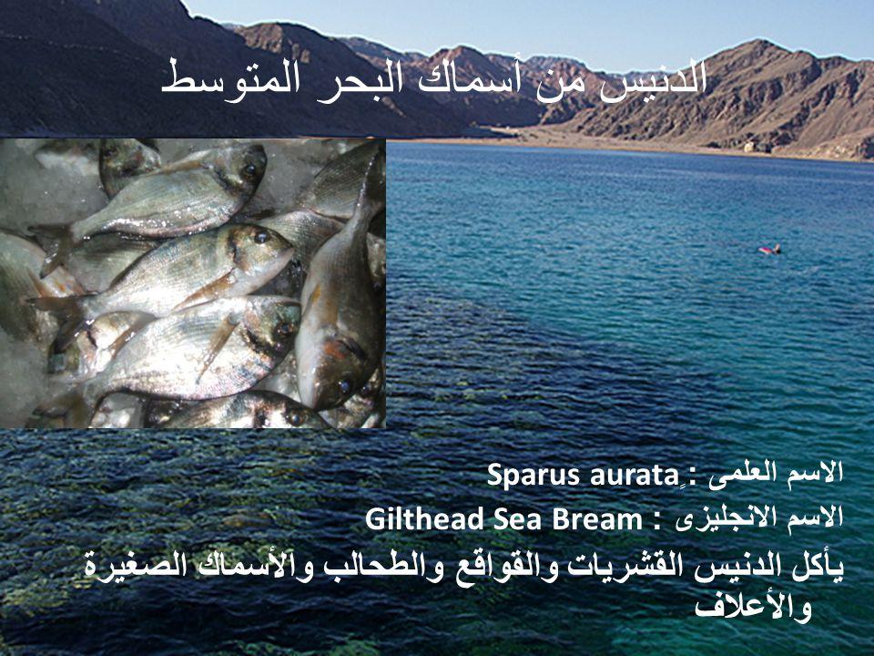 الدنيس من أسماك البحر المتوسط الاسم العلمى : ٍ Sparus aurata الاسم الانجليزى : Gilthead Sea Bream يأكل الدنيس القشريات والقواقع والطحالب والأسماك الصغيرة والأعلاف