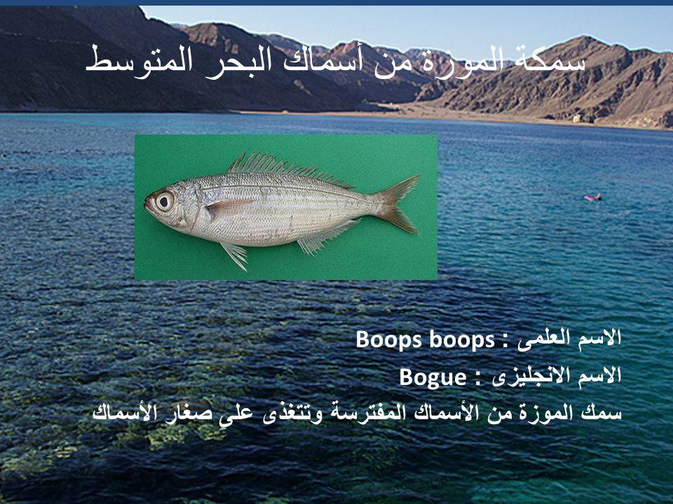سمكة الموزة من أسماك البحر المتوسط الاسم العلمى : Boops boops الاسم الانجليزى : Bogue سمك الموزة من الأسماك المفترسة وتتغذى على صغار الأسماك