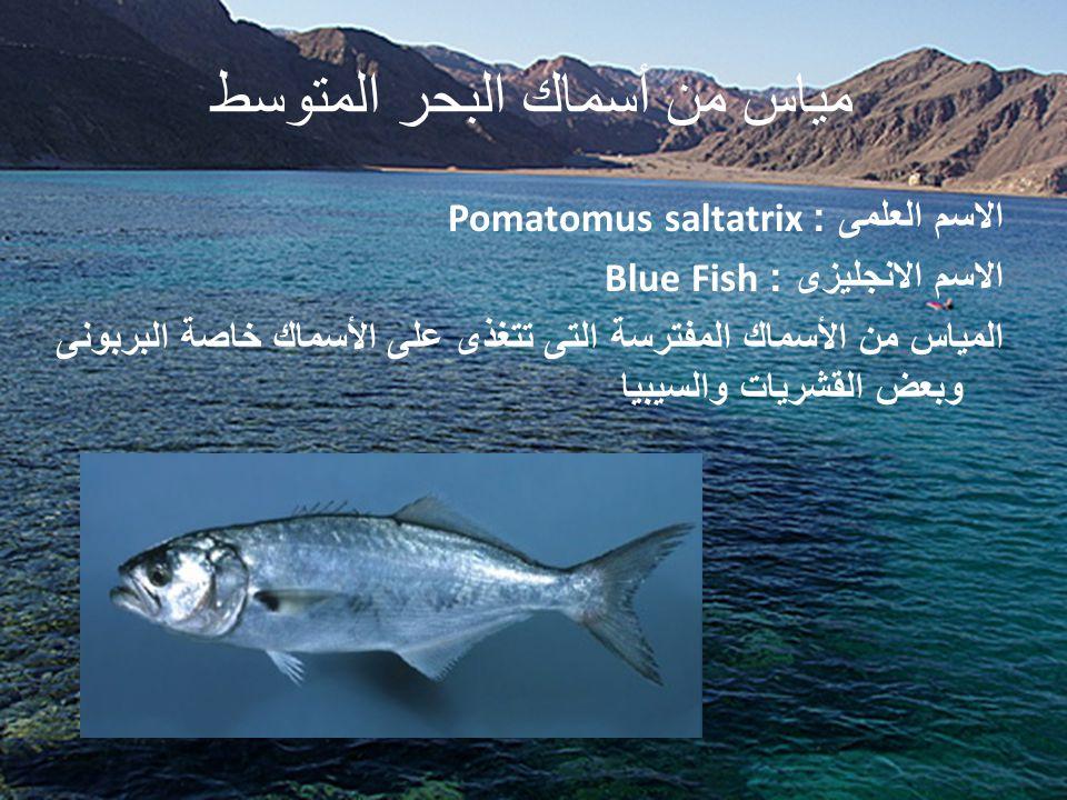 مياس من أسماك البحر المتوسط الاسم العلمى : Pomatomus saltatrix الاسم الانجليزى : Blue Fish المياس من الأسماك المفترسة التى تتغذى على الأسماك خاصة البر