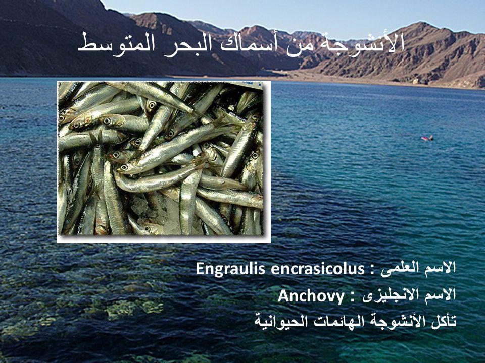 الأنشوجة من أسماك البحر المتوسط الاسم العلمى : Engraulis encrasicolus الاسم الانجليزى : Anchovy تأكل الأنشوجة الهائمات الحيوانية