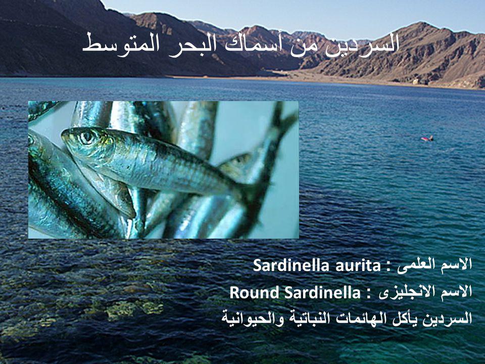 مياس من أسماك البحر المتوسط الاسم العلمى : Pomatomus saltatrix الاسم الانجليزى : Blue Fish المياس من الأسماك المفترسة التى تتغذى على الأسماك خاصة البربونى وبعض القشريات والسيبيا