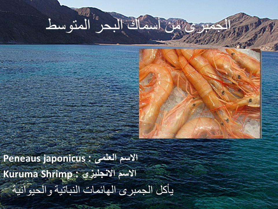 الجمبرى من أسماك البحر المتوسط الاسم العلمى : Peneaus japonicus الاسم الانجليزى : Kuruma Shrimp يأكل الجمبرى الهائمات النباتية والحيوانية