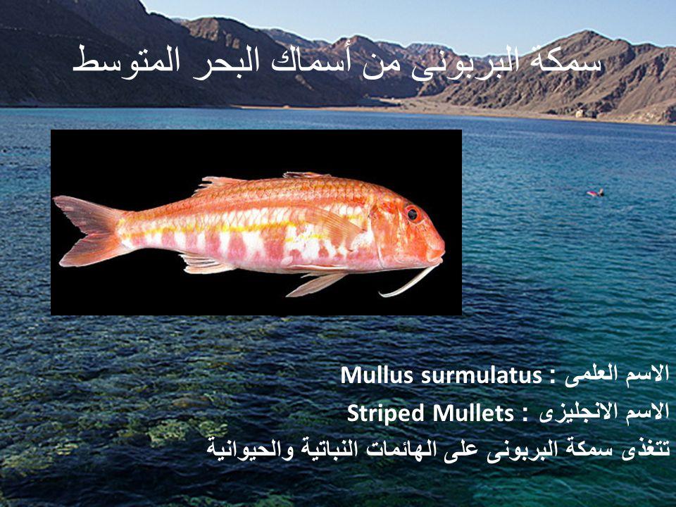 سمكة البربونى من أسماك البحر المتوسط الاسم العلمى : Mullus surmulatus الاسم الانجليزى : Striped Mullets تتغذى سمكة البربونى على الهائمات النباتية والحيوانية