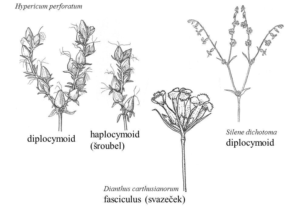 Dianthus carthusianorum fasciculus (svazeček) diplocymoid haplocymoid (šroubel) Hypericum perforatum Silene dichotoma diplocymoid