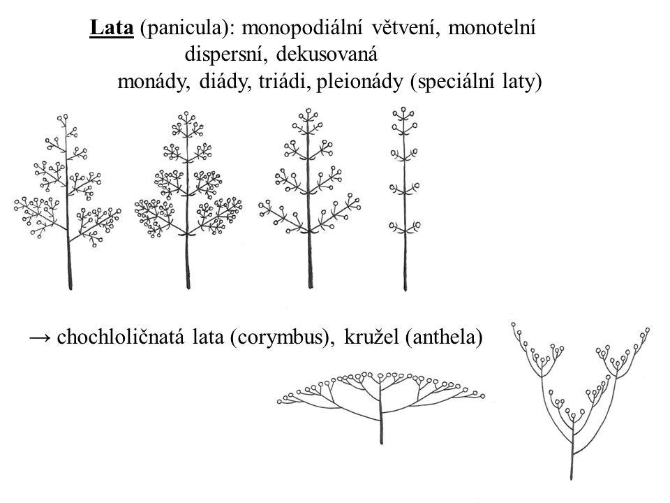 Lata (panicula): monopodiální větvení, monotelní dispersní, dekusovaná monády, diády, triádi, pleionády (speciální laty) → chochloličnatá lata (corymb