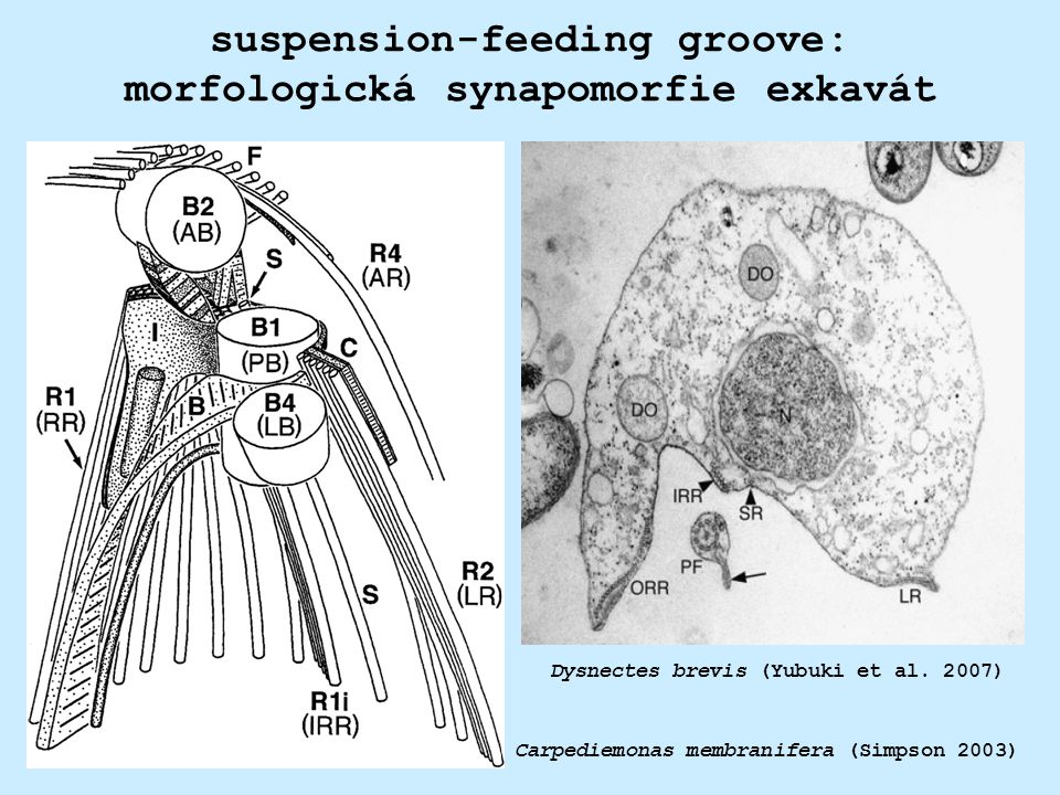 suspension-feeding groove: morfologická synapomorfie exkavát Dysnectes brevis (Yubuki et al. 2007) Carpediemonas membranifera (Simpson 2003)