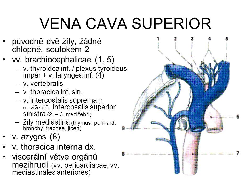 VENA CAVA SUPERIOR původně dvě žíly, žádné chlopně, soutokem 2 vv.