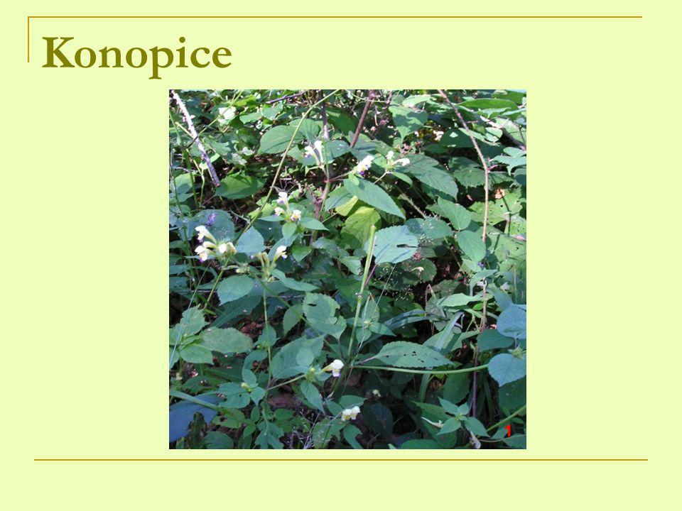 Konopice 1