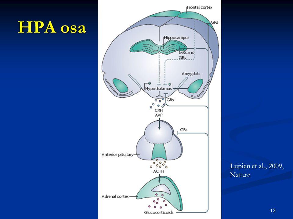 HPA osa 13 Lupien et al., 2009, Nature