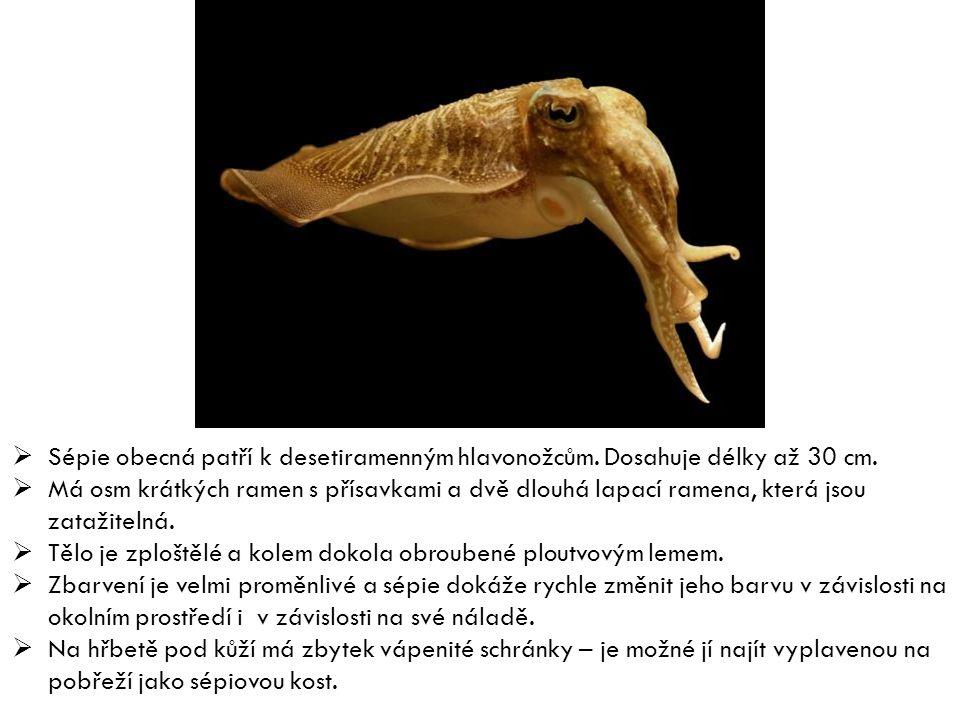  Sépie obecná patří k desetiramenným hlavonožcům. Dosahuje délky až 30 cm.  Má osm krátkých ramen s přísavkami a dvě dlouhá lapací ramena, která jso