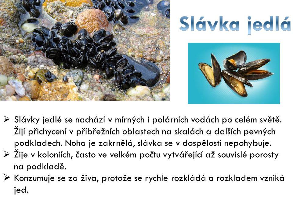  Slávky jedlé se nachází v mírných i polárních vodách po celém světě. Žijí přichycení v příbřežních oblastech na skalách a dalších pevných podkladech