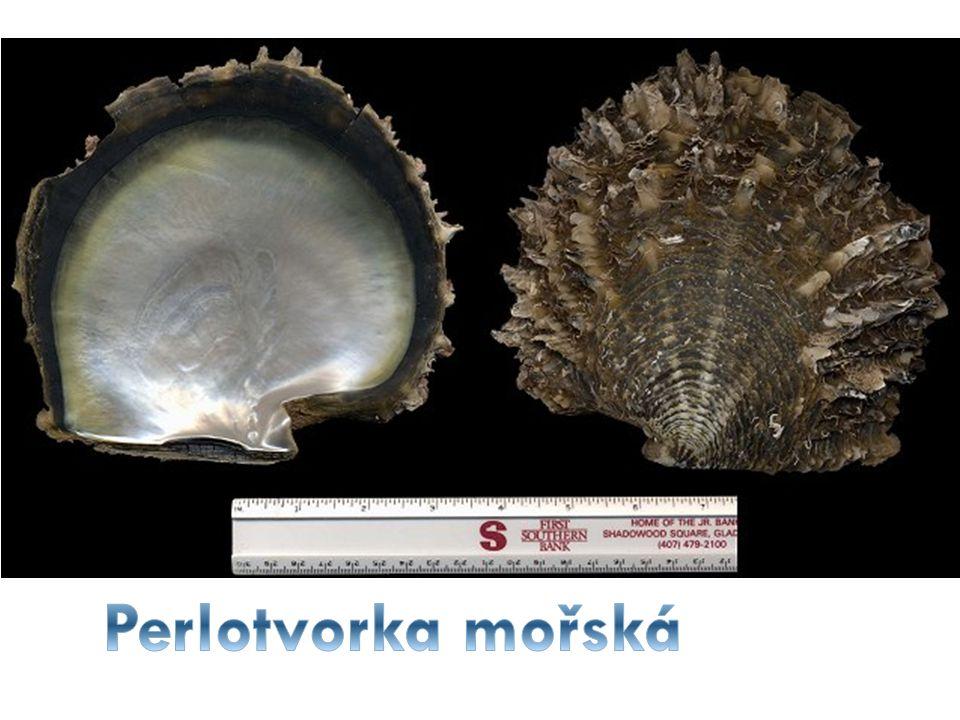 Perlotvorka je rod mořských mlžů s masivními plochými lasturami, žije u pobřeží většiny teplých moří.