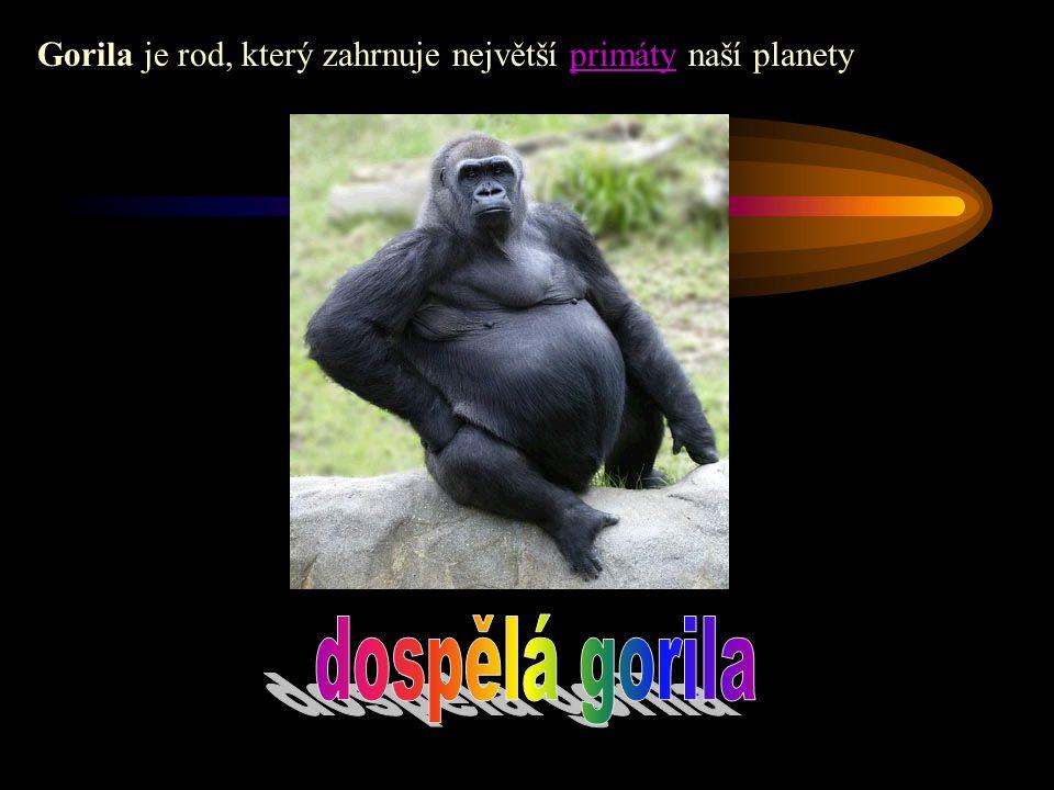 Gorila je rod, který zahrnuje největší primáty naší planetyprimáty