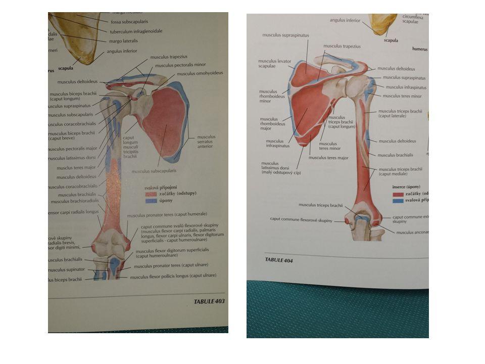 MECHANICKÁ MIKROTRAUMATA POHYBOVÉHO APARÁTU Plavecké rameno (motýlek, kraul, znak) Dlouhodobé opakované přenášení paže nad vodou a její natažení dopředu - abdukce, vnitřní rotace a elevace paže v ramenním kloubu → narážení (impingement ) šlach a úponů nadhřebenového svalu a dlouhé hlavy dvojhlavého svalu na přední okraj nadpažkového výběžku a vaz lopatky Predisponující faktory:  volnější ramenní kloub,  oslabené vazy a svaly,  špatná (nevhodná) technika pohybu.