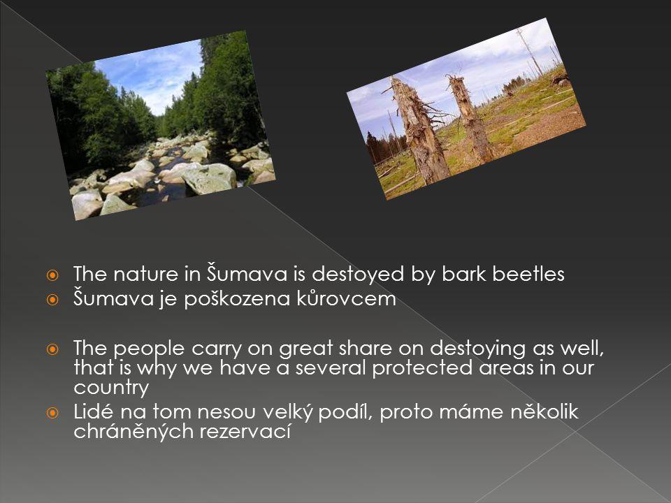  The nature in Šumava is destoyed by bark beetles  Šumava je poškozena kůrovcem  The people carry on great share on destoying as well, that is why we have a several protected areas in our country  Lidé na tom nesou velký podíl, proto máme několik chráněných rezervací