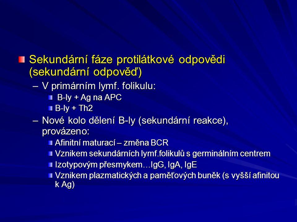 Sekundární fáze protilátkové odpovědi (sekundární odpověď) –V primárním lymf. folikulu: B-ly + Ag na APC B-ly + Ag na APC B-ly + Th2 –Nové kolo dělení