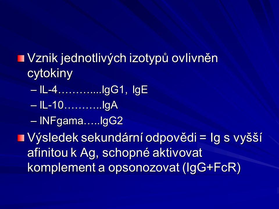 Vznik jednotlivých izotypů ovlivněn cytokiny –IL-4………....IgG1, IgE –IL-10………..IgA –INFgama…..IgG2 Výsledek sekundární odpovědi = Ig s vyšší afinitou k Ag, schopné aktivovat komplement a opsonozovat (IgG+FcR)