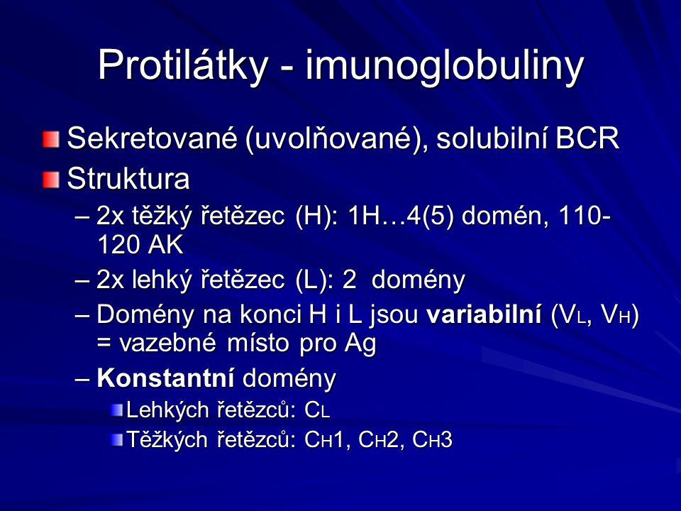 Protilátky - imunoglobuliny Sekretované (uvolňované), solubilní BCR Struktura –2x těžký řetězec (H): 1H…4(5) domén, 110- 120 AK –2x lehký řetězec (L):