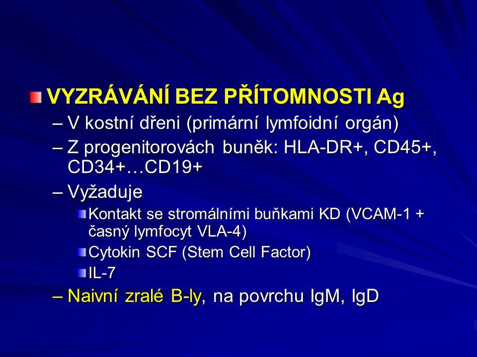 VYZRÁVÁNÍ BEZ PŘÍTOMNOSTI Ag –V kostní dřeni (primární lymfoidní orgán) –Z progenitorovách buněk: HLA-DR+, CD45+, CD34+…CD19+ –Vyžaduje Kontakt se stromálními buňkami KD (VCAM-1 + časný lymfocyt VLA-4) Cytokin SCF (Stem Cell Factor) IL-7 –Naivní zralé B-ly, na povrchu IgM, IgD