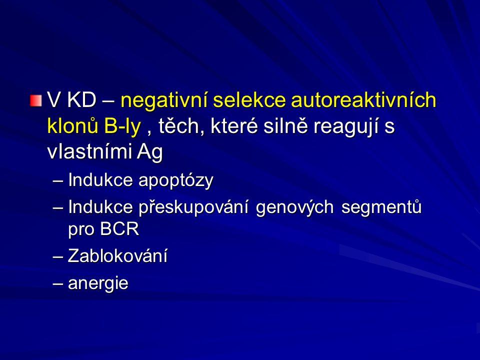 V KD – negativní selekce autoreaktivních klonů B-ly, těch, které silně reagují s vlastními Ag –Indukce apoptózy –Indukce přeskupování genových segmentů pro BCR –Zablokování –anergie