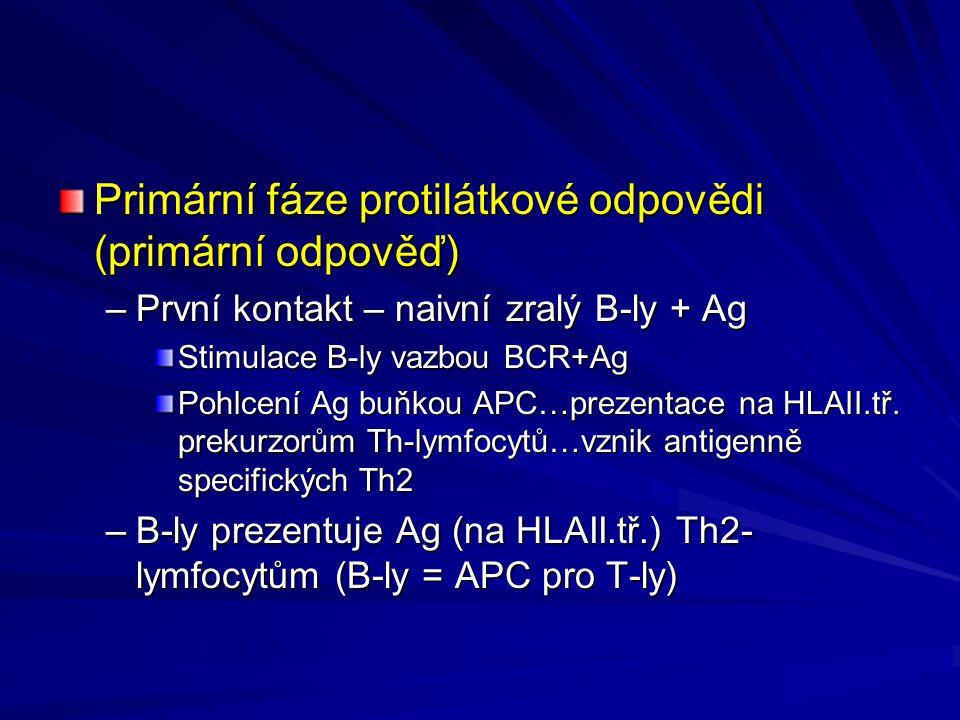 Primární fáze protilátkové odpovědi (primární odpověď) –První kontakt – naivní zralý B-ly + Ag Stimulace B-ly vazbou BCR+Ag Pohlcení Ag buňkou APC…prezentace na HLAII.tř.