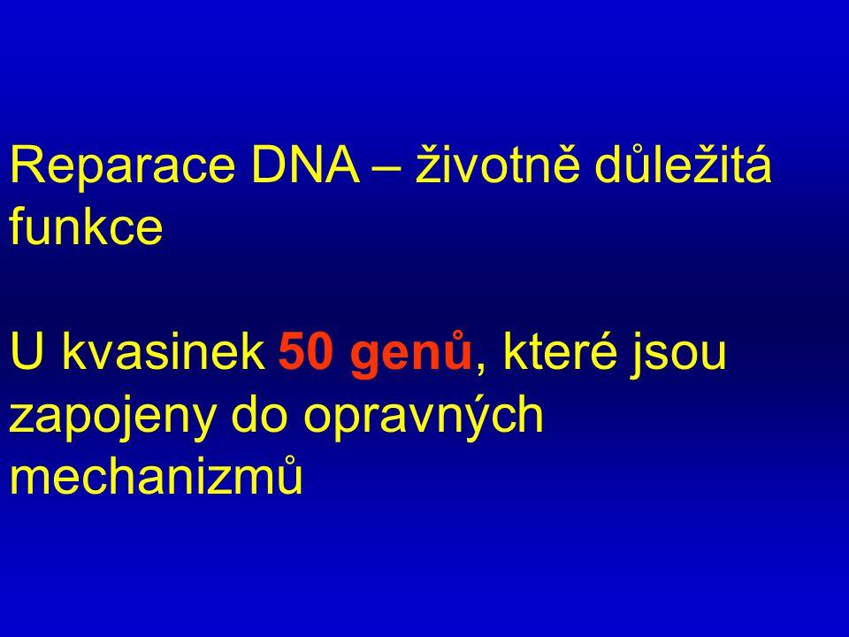 Reparace DNA – životně důležitá funkce U kvasinek 50 genů, které jsou zapojeny do opravných mechanizmů