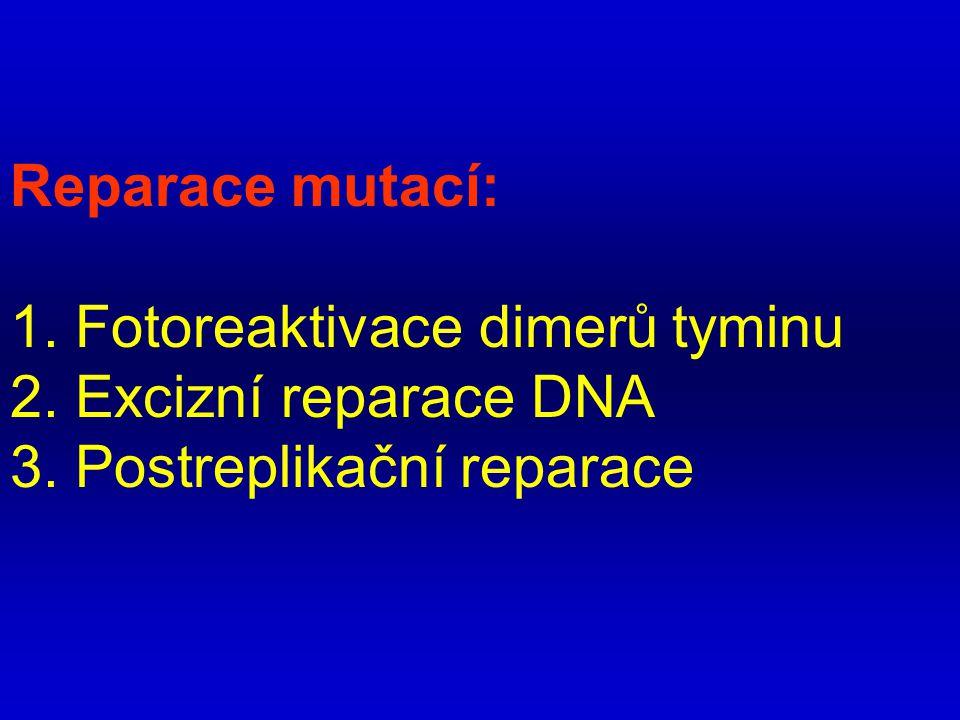 Reparace mutací: 1. Fotoreaktivace dimerů tyminu 2. Excizní reparace DNA 3. Postreplikační reparace