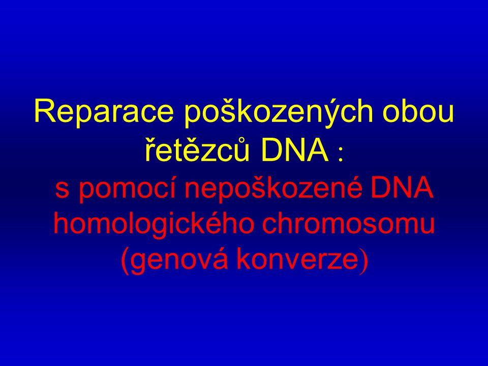 Reparace poškozených obou řetězců DNA : s pomocí nepoškozené DNA homologického chromosomu (genová konverze )