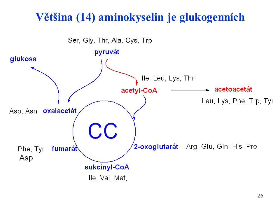 26 Asp Ser, Gly, Thr, Ala, Cys, Trp Většina (14) aminokyselin je glukogenních