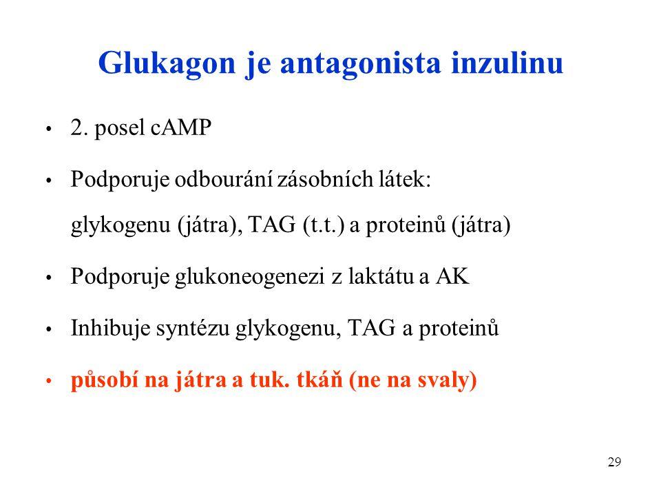 29 Glukagon je antagonista inzulinu 2. posel cAMP Podporuje odbourání zásobních látek: glykogenu (játra), TAG (t.t.) a proteinů (játra) Podporuje gluk