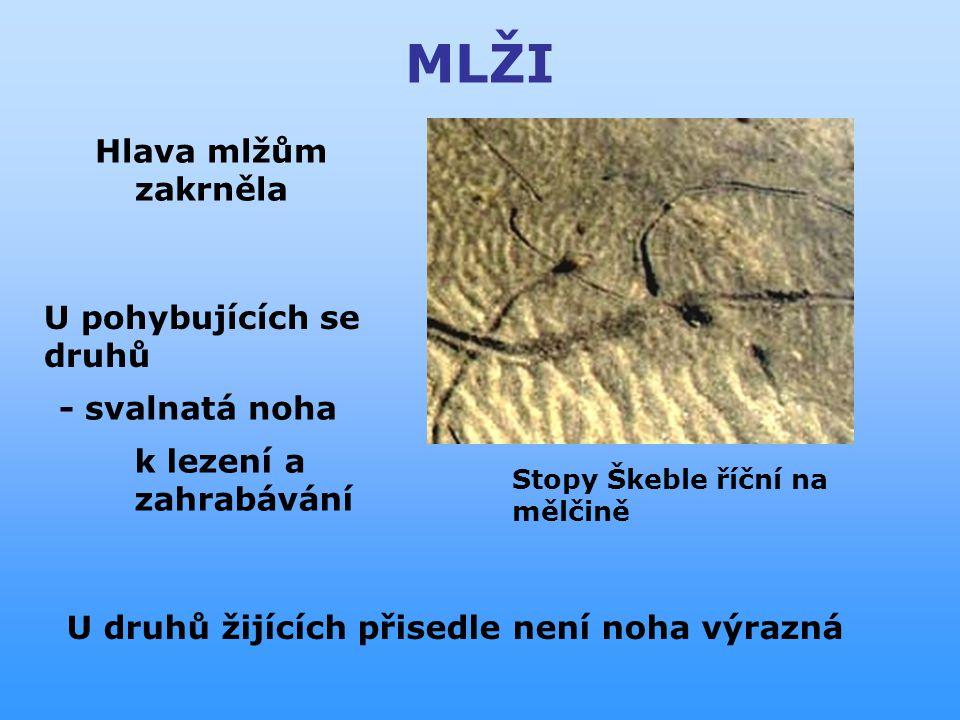 MLŽI - svalnatá noha k lez ení a zahr abává ní U pohybujících se druhů Hlava mlžům zakrněla U druhů žijících přisedle není noha výrazná Stopy Škeble říční na mělčině