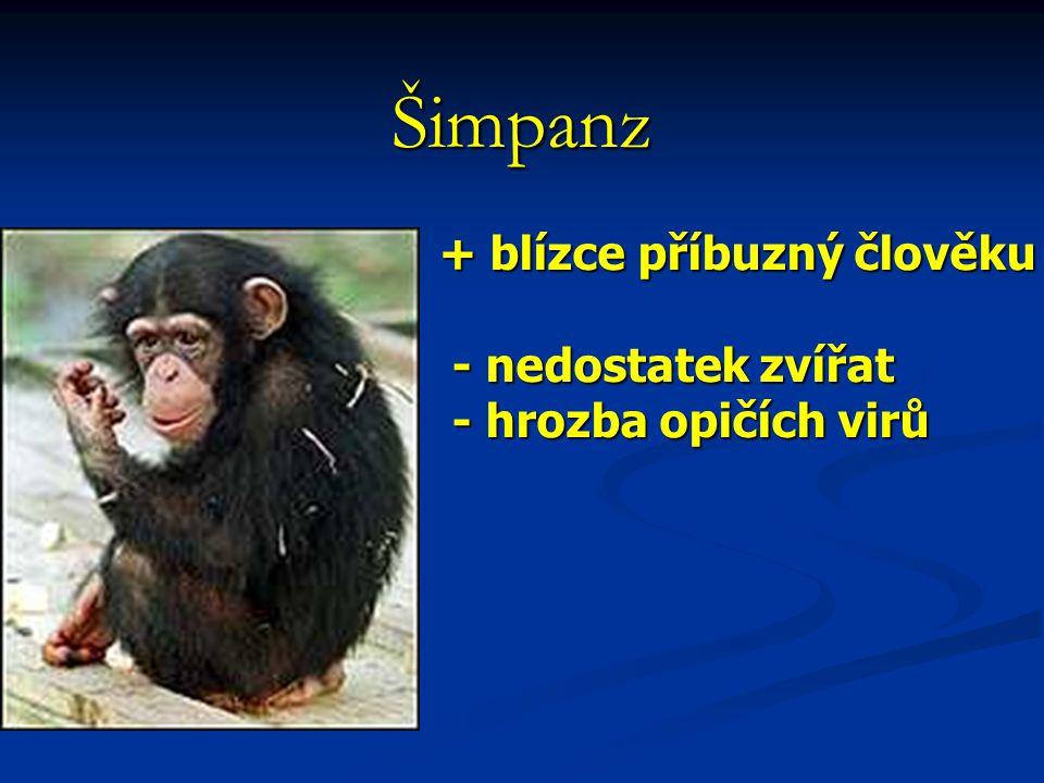 + blízce příbuzný člověku - nedostatek zvířat - nedostatek zvířat - hrozba opičích virů - hrozba opičích virů Šimpanz