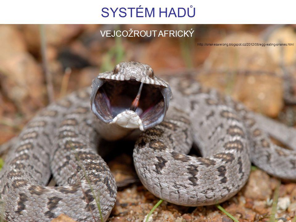 SYSTÉM HADŮ http://snakesarelong.blogspot.cz/2012/06/egg-eating-snakes.html VEJCOŽROUT AFRICKÝ