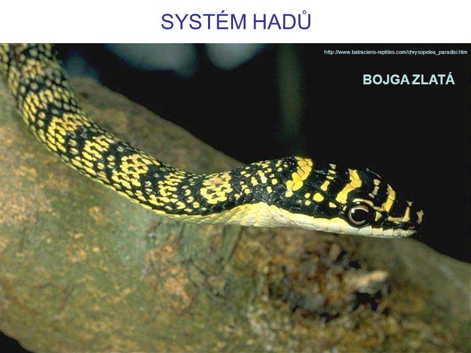 SYSTÉM HADŮ http://www.batraciens-reptiles.com/chrysopelea_paradisi.htm BOJGA ZLATÁ