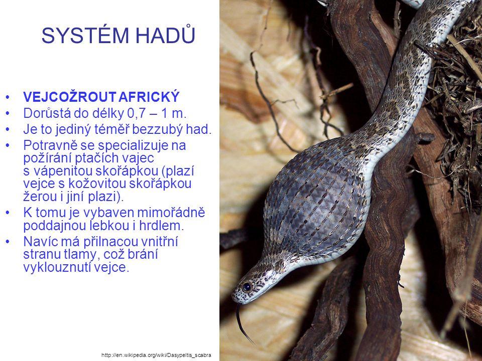 SYSTÉM HADŮ VEJCOŽROUT AFRICKÝ Dorůstá do délky 0,7 – 1 m.