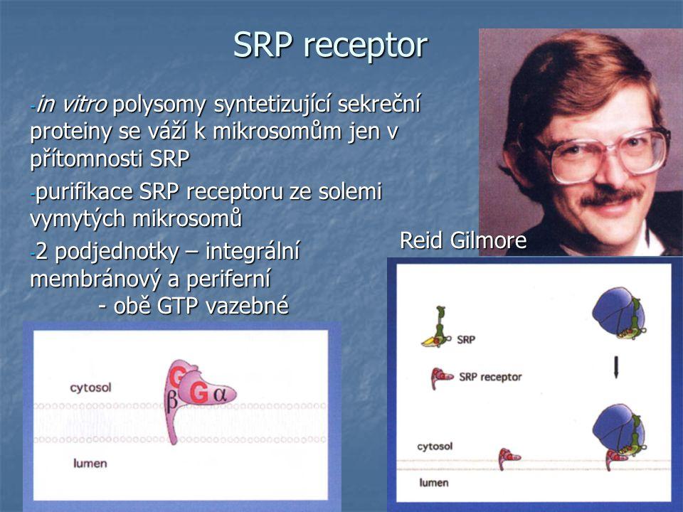 SRP receptor - in vitro polysomy syntetizující sekreční proteiny se váží k mikrosomům jen v přítomnosti SRP - purifikace SRP receptoru ze solemi vymytých mikrosomů - 2 podjednotky – integrální membránový a periferní - obě GTP vazebné Reid Gilmore