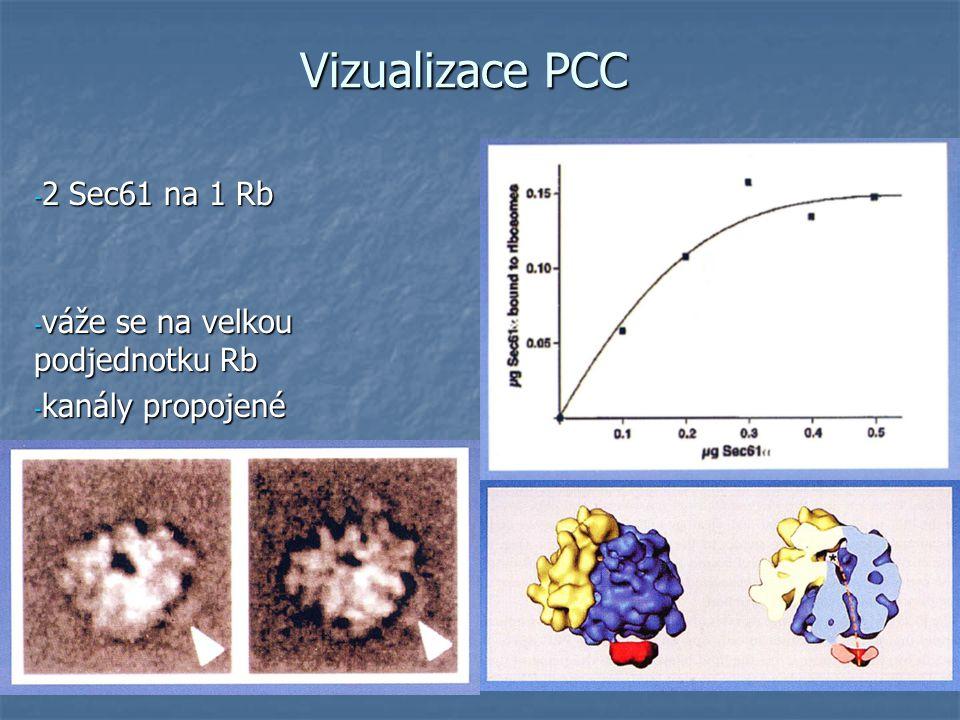 Vizualizace PCC - 2 Sec61 na 1 Rb - váže se na velkou podjednotku Rb - kanály propojené