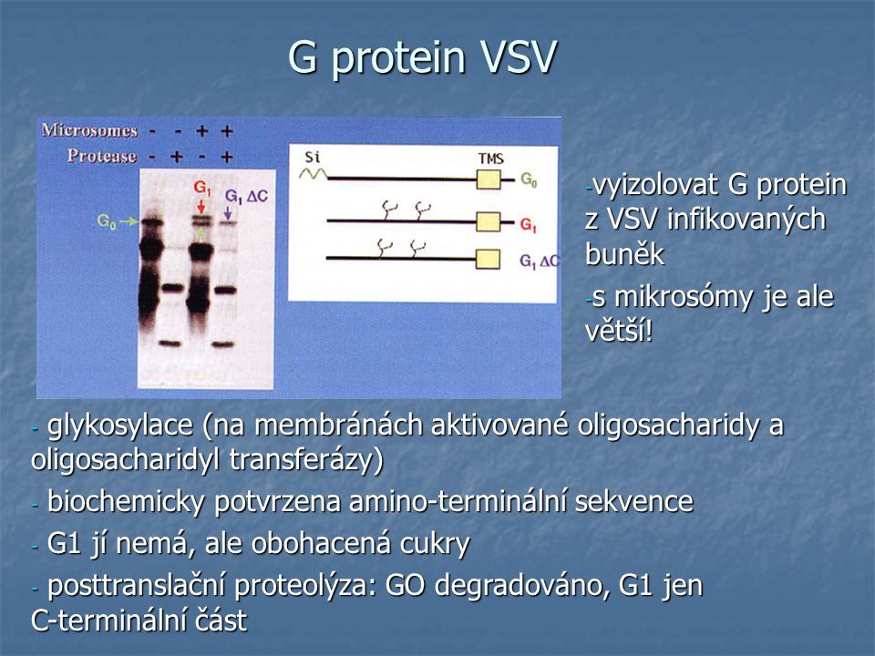 G protein VSV - vyizolovat G protein z VSV infikovaných buněk - s mikrosómy je ale větší.