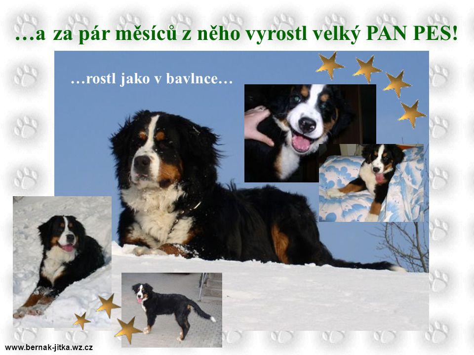 www.bernak-jitka.wz.cz Byly jednou jedny Mokrovousy… …a narodilo se jedno štěňátko… DASTY …jednoho krásného dne si pro to štěňátko dojela panička… A hurá do světa!!!!