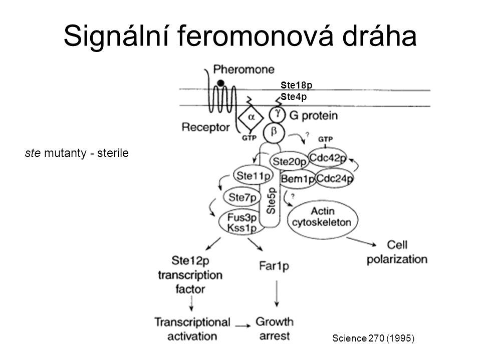 Signální feromonová dráha Ste18p Ste4p Science 270 (1995) ste mutanty - sterile