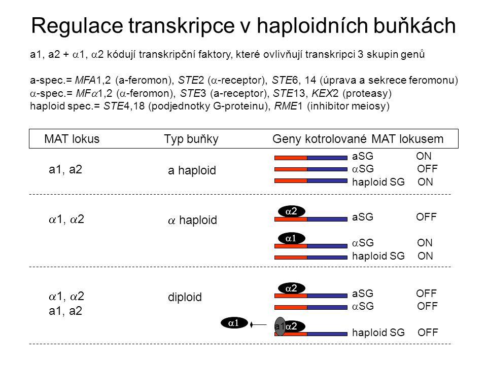 Regulace transkripce v haploidních buňkách a1, a2 +  1,  2 kódují transkripční faktory, které ovlivňují transkripci 3 skupin genů a-spec.= MFA1,2 (a-feromon), STE2 (  -receptor), STE6, 14 (úprava a sekrece feromonu)  -spec.= MF  1,2 (  -feromon), STE3 (a-receptor), STE13, KEX2 (proteasy) haploid spec.= STE4,18 (podjednotky G-proteinu), RME1 (inhibitor meiosy) aSG ON  SG OFF haploid SG ON MAT lokusTyp buňkyGeny kotrolované MAT lokusem a haploid a1, a2  haploid  1,  2 aSG OFF  SG ON haploid SG ON 22  diploid  1,  2 a1, a2 aSG OFF  SG OFF haploid SG OFF 22  22 a1