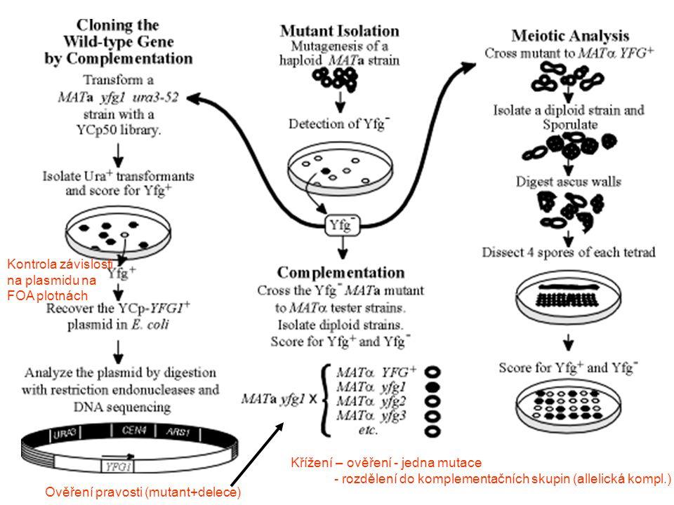 """Průběh konjugace Změna tvaru … aglutinace … spojení … Feromony se váží na receptory další receptory lokalizovány specificky do stejného místa zastaví v G1 fázi a změní tvar (""""shmoo směrem k partnerovi) tj."""