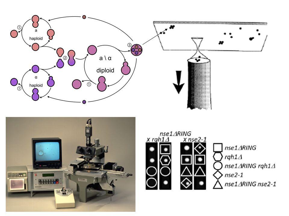 Dvojité mutanty – funkční příbuznost Mutageneze pomocí hydroxylaminu … stejný fenotyp- diploid - identický gen (nebo dominantní) - haploid – epistatický (funkčně příbuzné) Aditivní až letální – haploid – paralelní dráha, redundance, rozpad komplexu A b C D e F A B E A b c D E F Hledání (screening) letálního mutanta – mutageneze kmene s vypínatelným plasmidem (promotor nebo FOA) Epistatic Lethal D C F Protein complex