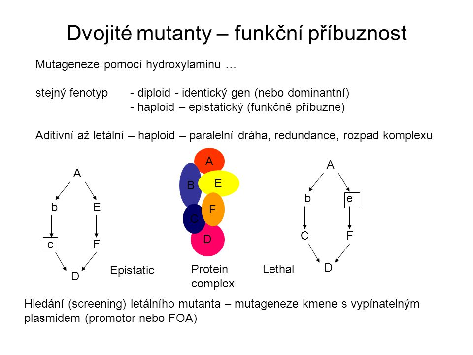 """Supresory Supresory potlačují původní fenotyp: - nadprodukce proteinu z paralelní dráhy - nadprodukce proteinu z téže dráhy – mutace téhož genu """"napraví původní - mutace sousedního (protein) zesílí oslabenou interakci A b C D E A b C D E F F A E D C F Protein complex F B E C"""