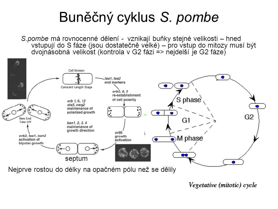 Přepínání párovacího typu DNA z MAT lokusu je HO endonukleasou vystřižena a na její místo se překopíruje sekvence z kazety opačného páru - HO endonukleasa je exprimována pouze v mateřské buňce v G1 fázi (dceřinná si uchová původní typ) Current Opinion in Cell Biol 8 (1996)
