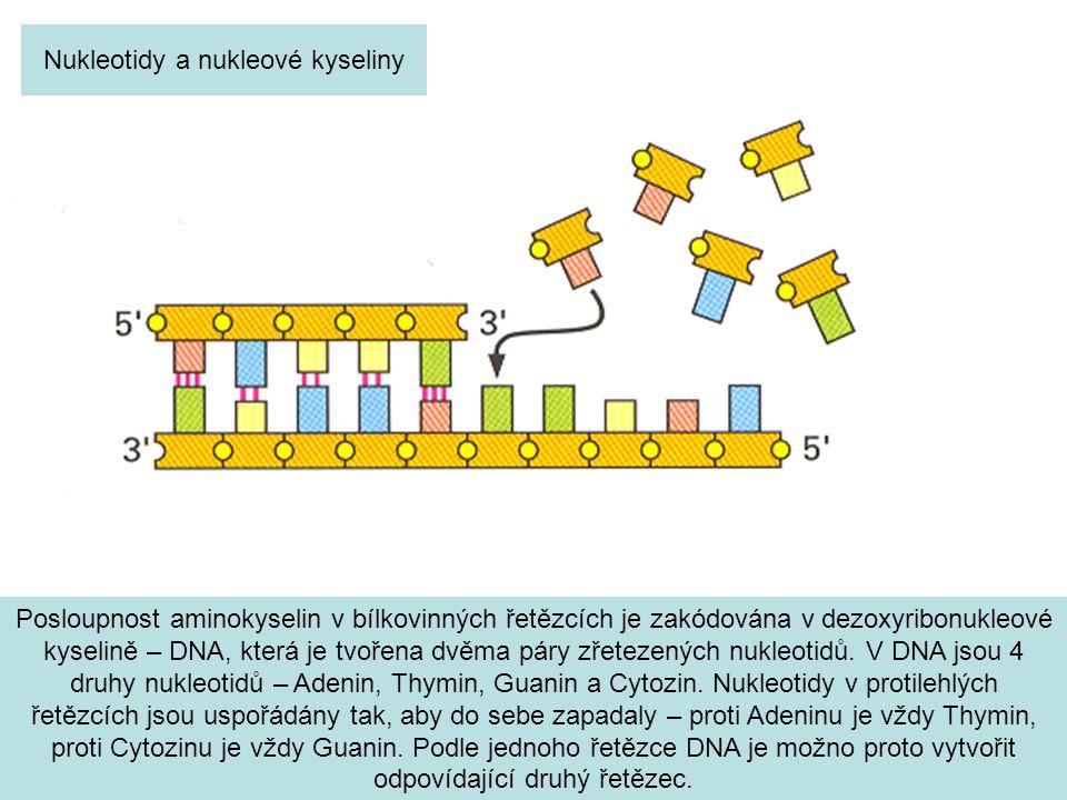 Posloupnost aminokyselin v bílkovinných řetězcích je zakódována v dezoxyribonukleové kyselině – DNA, která je tvořena dvěma páry zřetezených nukleotidů.